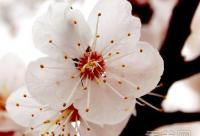 美白秘方:自制桃花美白水红润肌肤